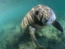 Nadando con manatíes