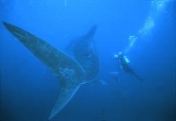 Foto-identificación de tiburones ballena