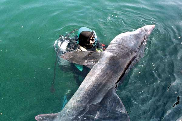 Imagen de un tiburón peregrino que llegó desorientado a la dársena del puerto de Bueu en 1998. Fuente: Faro de Vigo.