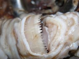 Pequeño pero matón, el tiburón pitillo