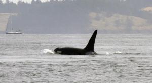 Orca en aguas de Vancouver, Canadá. Foto: Gonzalo Mucientes.