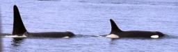 Orcas, tiburones y pescadores, ¿algo en común?