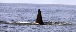 Observación de orcas en Vancouver