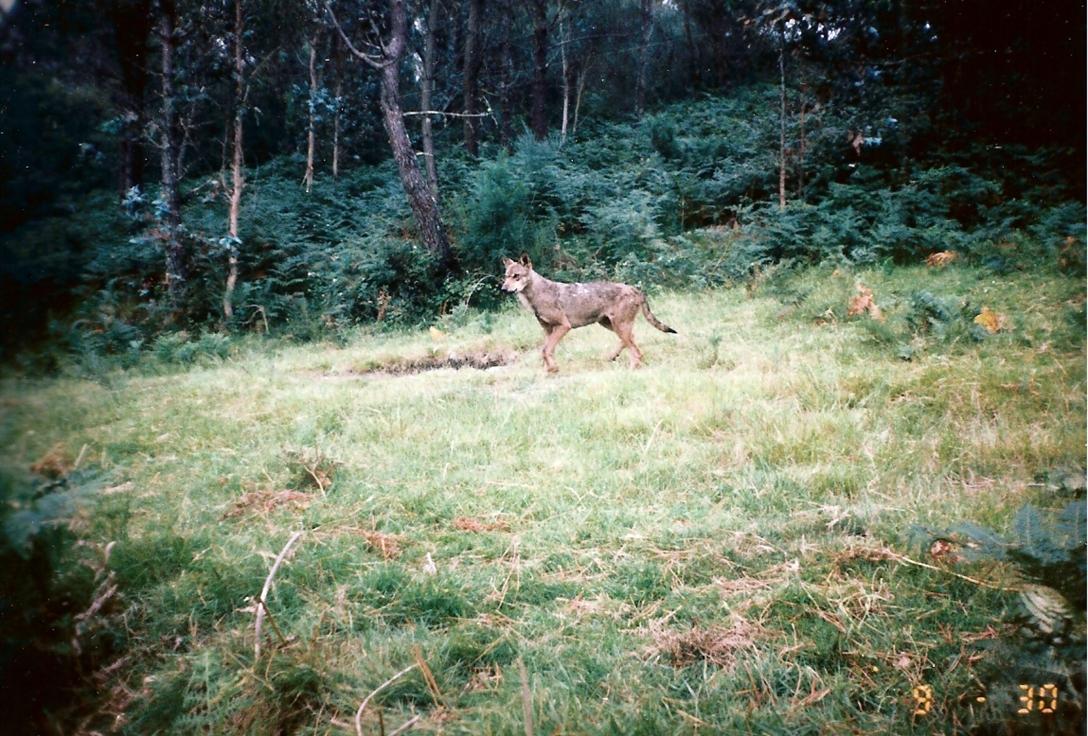 Lobo ibérico pasando frente a la cámara en la Serra do Cando