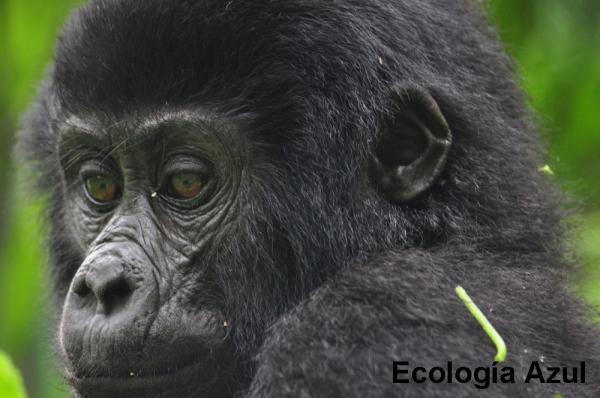 Gorila de montaña de 2 años de edad
