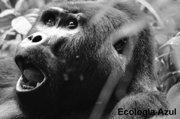 Macho alfa de gorila de montaña