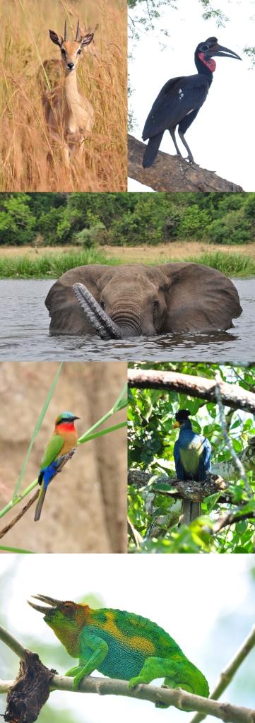 Oribi (Ourebia ouribi), cálao abisinio (Bucorvus abyssinicus), elefante africano (Loxodonta africana), abejarruco gorgirrojo (Merops bulocki), turaco azul (Corythaeola cristata) y camaleón de Jackson (Trioceros jacksonii)