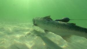Salmon marcado