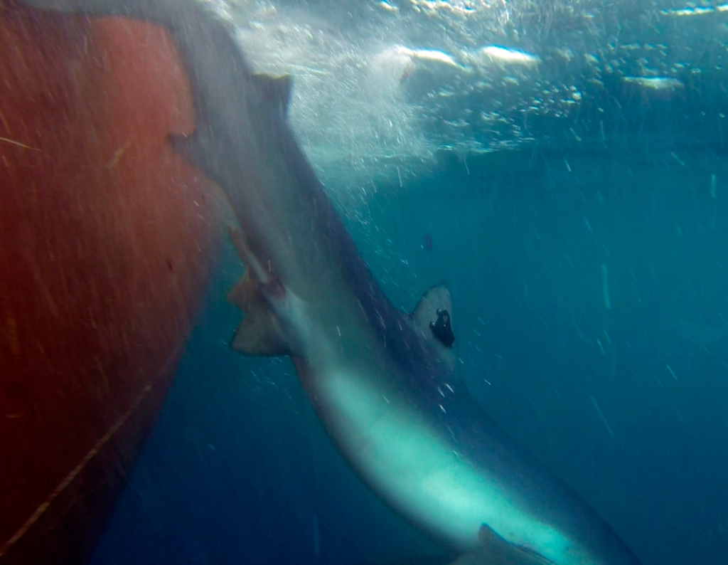 Tiburón azul descendiendo con su transmisor instalado en la aleta dorsal