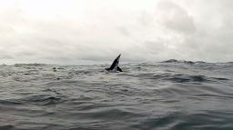 Marcado de tiburones pelágicos