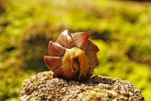 Chaetopleura angulata