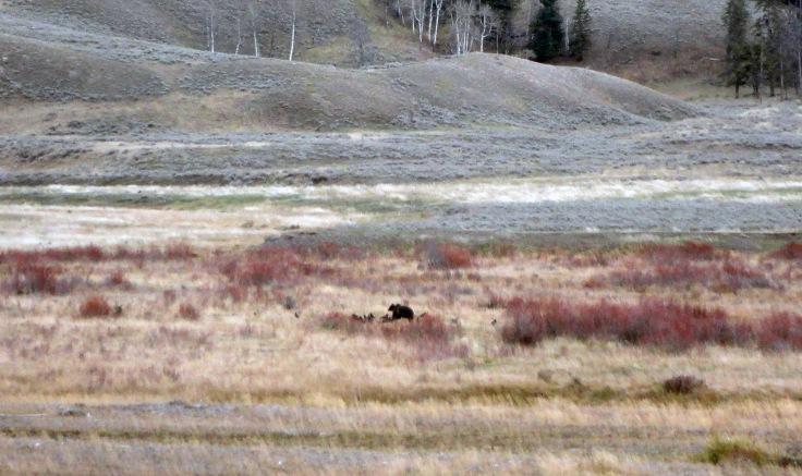 Grizzly comiendo restos de un bisonte americano (foto: G. Mucientes, BEC)