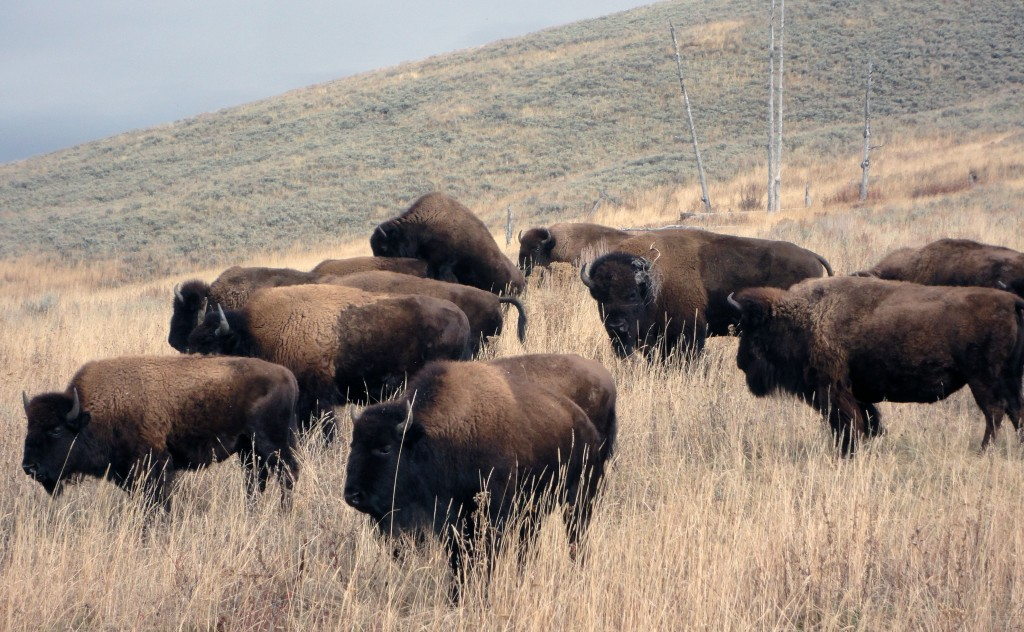 Grupo de bisontes americanos en Yellowstone National Park