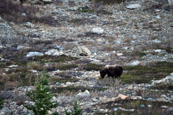 Grizzly radiomarcado en Glacier National Park (foto: Sean Pinnell)