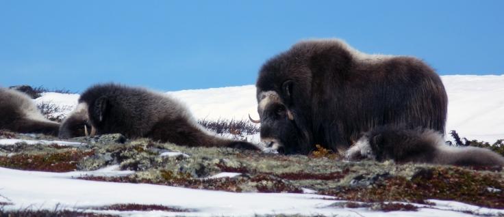 Grupo familra de bueyes almizcleros descansando sobre la tundra (foto G. Mucientes, BEC)