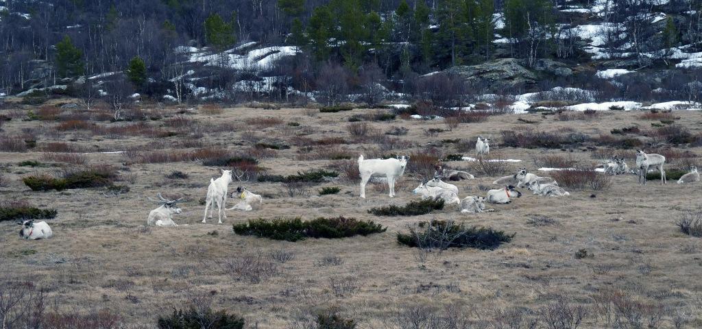 Grupo de renos descansando (foto: G. Mucientes, BEC)