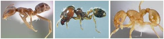 Las tres especies invasoras de hormigas presentes en Europa que UICN considera estar entre los 100 peores organismos invasores: la hormiga argentina (Linepithema humile), la hormiga de gran cabeza (Pheidole megacephala), y la pequeña hormiga de fuego (Wasmannia auropunctata). Imágenes de GISD (Global Invasive Species Database).