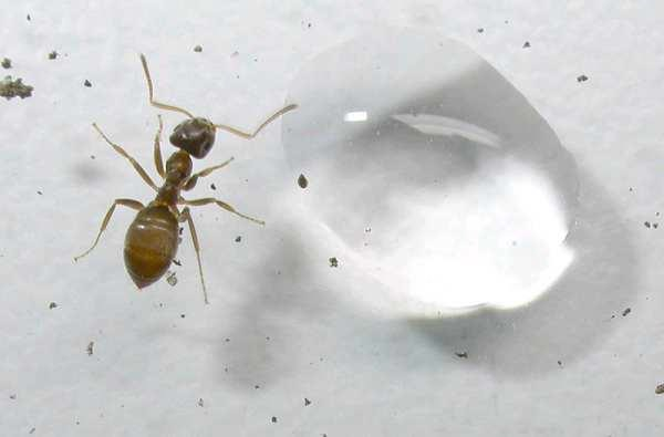 Fotografía de una obrera de hormiga invasora de jardín (Lasius neglectus). Imagen de GISD (Global Invasive Species Database).