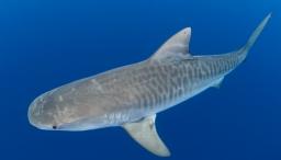 Espectaculares migraciones de los tiburones tigre