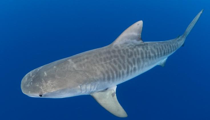 Tiburón tigre en el gran azul (foto: Nick Filmalter/Danah Divers)