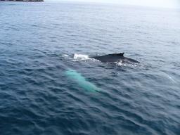 Ballenas Jorobadas en Terranova