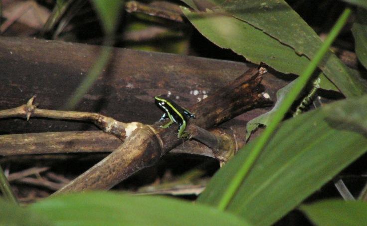 Epipedobates trivittatus (foto: G. Mucientes / BEC)
