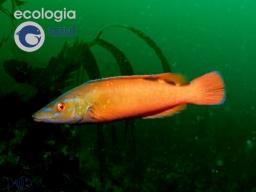 Los peces más coloridos de Galicia