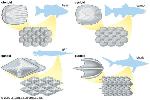 Tipos de escamas. Fuente: http://www.britannica.com/