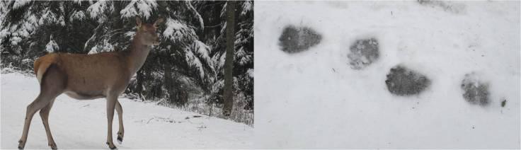 Ciervo (Cervus elaphus) y rastro de oros pardo (Ursus arctos) en los montes Tatra (fotos. G. Mucientes / BEC)