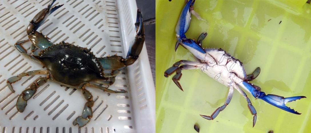 Detalles dorsal y ventral del cangrejo capturado. Foto: Berta Barreiro