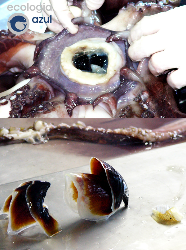 Detalles del pico del calamar de Humbolt. Fotos: Alex Alonso.
