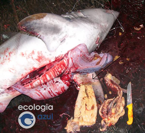 Potas de considerable tamaño forman parte de la dieta de varias especies de tiburones pelágicos. Foto: Gonzalo Mucientes.