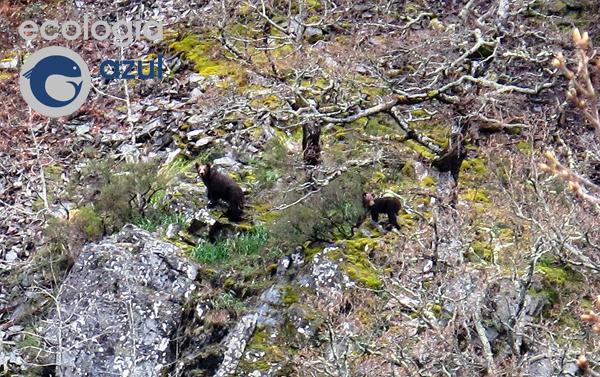 Osa con osezno de segundo año observada en el Alto Sil (foto: G. Mucientes / BEC)