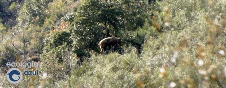 Oso cantábrico en su hábitata natural. Foto: Gonzalo Mucientes