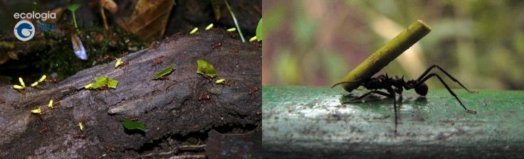 Trabajo cooperativo de hormigas en Costa Rica. Foto: Gonzalo Mucientes