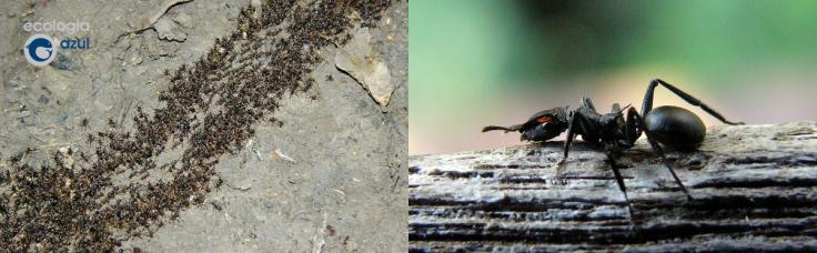 hormigas en el Parque Nacional ed Manu, Perú. Foto: Gonzalo Mucientes