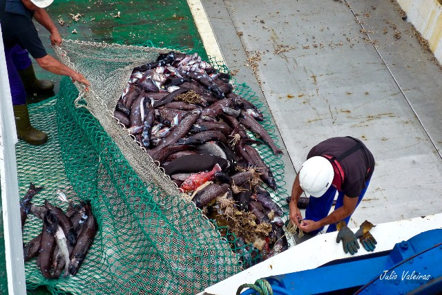 Captura dominada por peces del género Alepocephalus y erizos de lápices (Cidaris). Fuente: Julio Valeiras