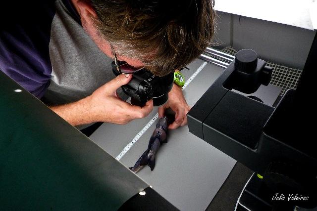 Rafa Bañón examinando una quimera del género (Hydrolagus). Foto: Xulio