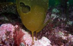 Peces marinos herbívoros y macroalgas